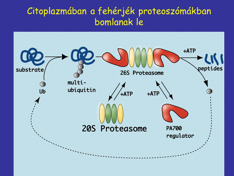Citoplazmában a fehérjék proteoszómákban bomlanak le