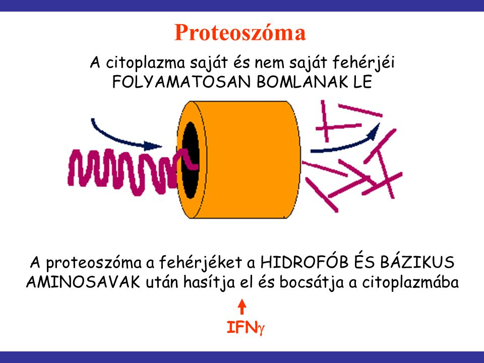 Proteoszóma A citoplazma saját és nem saját fehérjéi