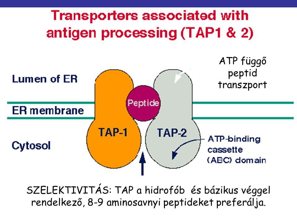 ATP függő peptid transzport