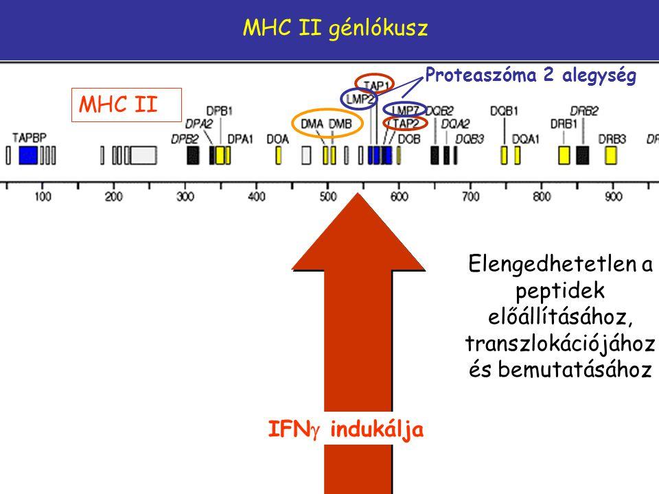 MHC II génlókusz Proteaszóma 2 alegység. MHC II. Elengedhetetlen a peptidek előállításához, transzlokációjához és bemutatásához.