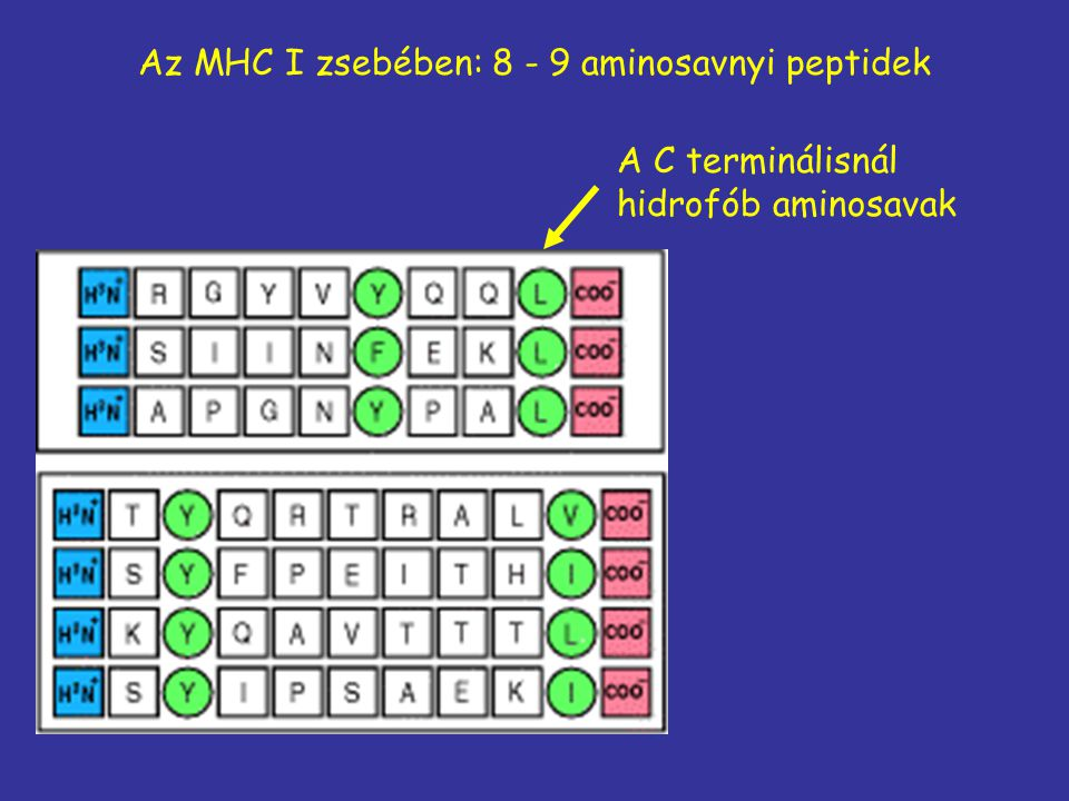 Az MHC I zsebében: 8 - 9 aminosavnyi peptidek