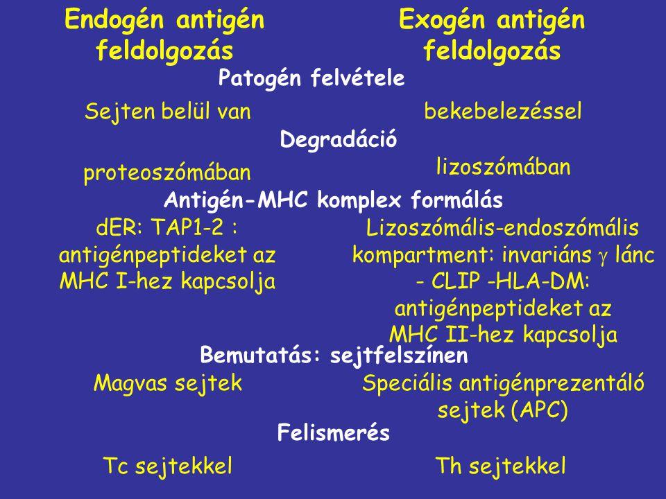 Endogén antigén feldolgozás Exogén antigén feldolgozás