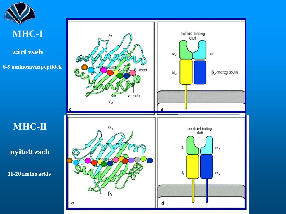 MHC-I MHC-II zárt zseb nyitott zseb 8-9 aminosavas peptidek