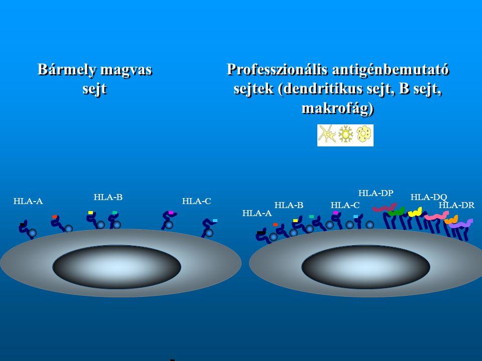 Bármely magvas sejt Professzionális antigénbemutató sejtek (dendritikus sejt, B sejt, makrofág) HLA-DP.