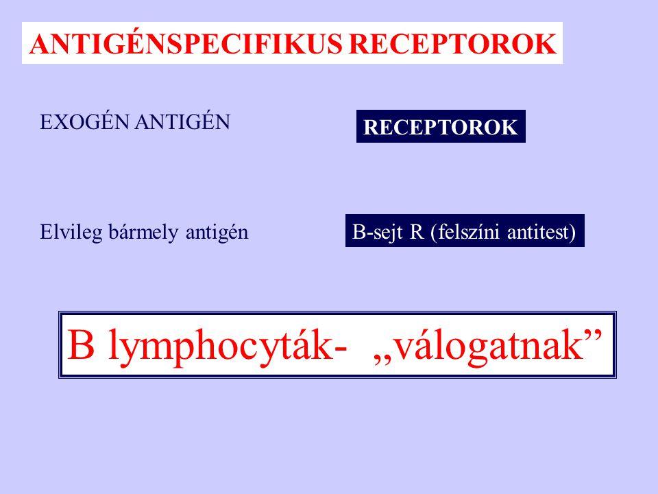 """B lymphocyták- """"válogatnak"""