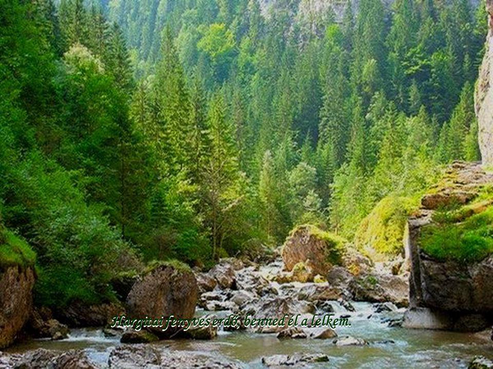 Hargitai fenyves erdő, benned él a lelkem.