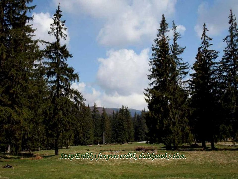 Szép Erdélyi fenyves erdők, daloljatok vélem.