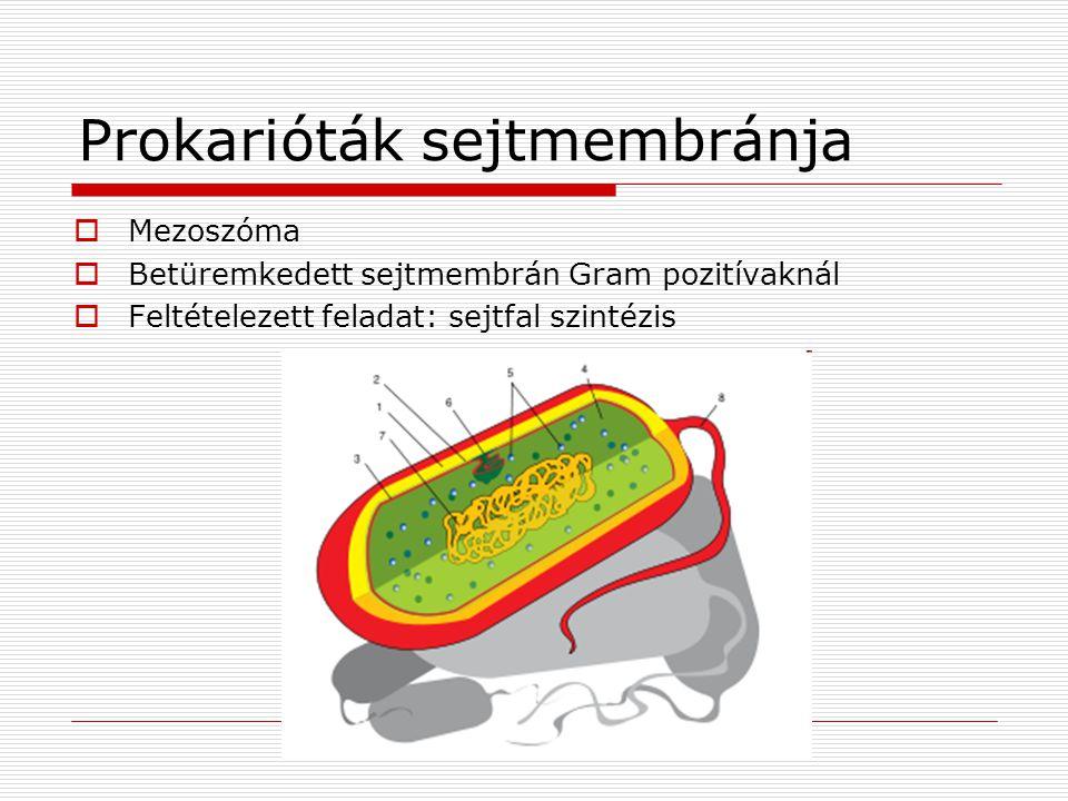 Prokarióták sejtmembránja