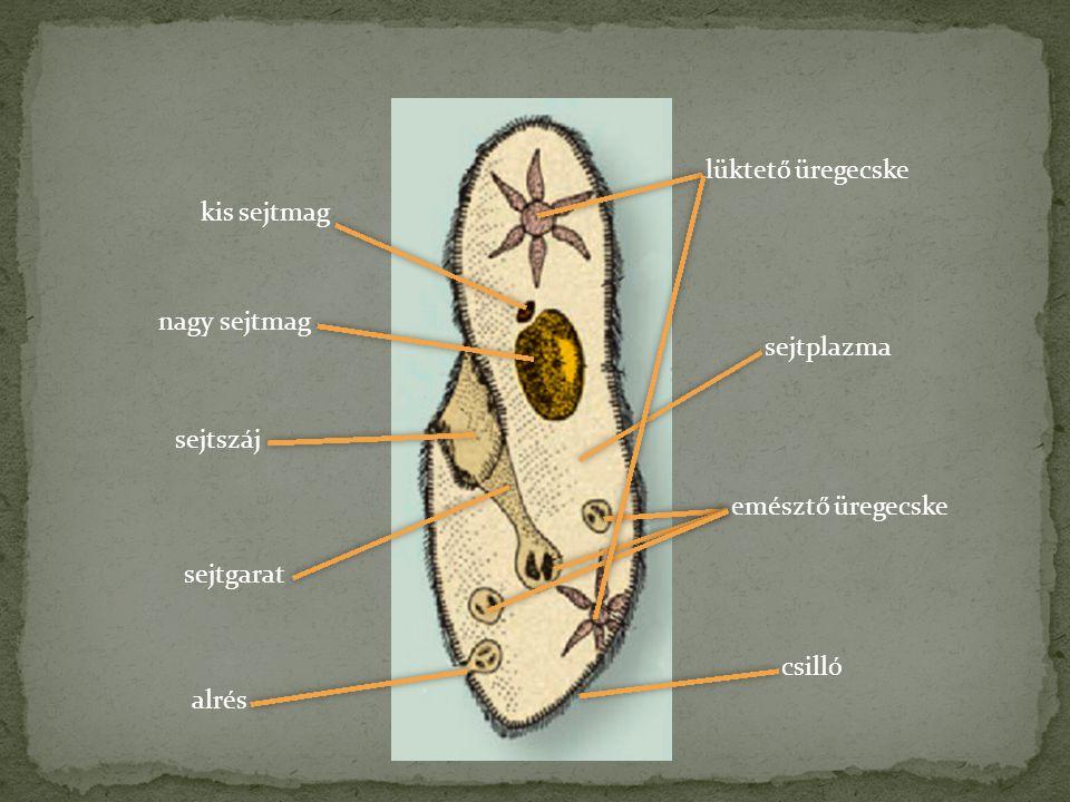 lüktető üregecske kis sejtmag. nagy sejtmag. sejtplazma. sejtszáj. emésztő üregecske. sejtgarat.
