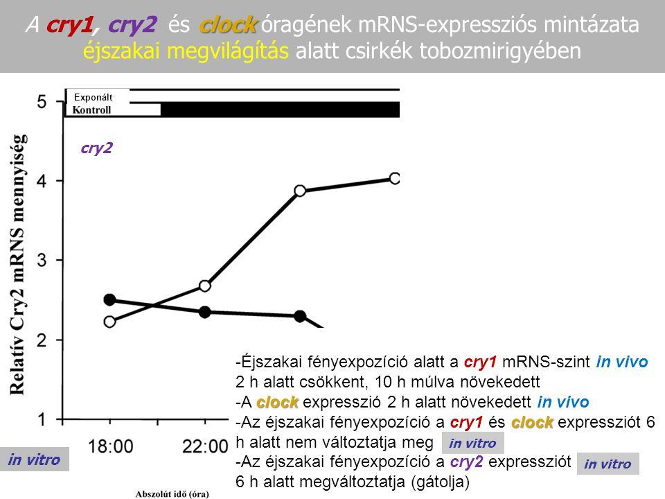 A cry1, cry2 és clock óragének mRNS-expressziós mintázata