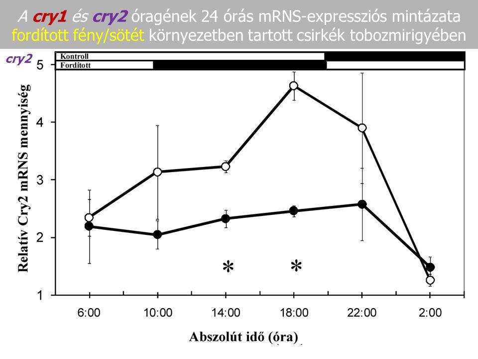 A cry1 és cry2 óragének 24 órás mRNS-expressziós mintázata