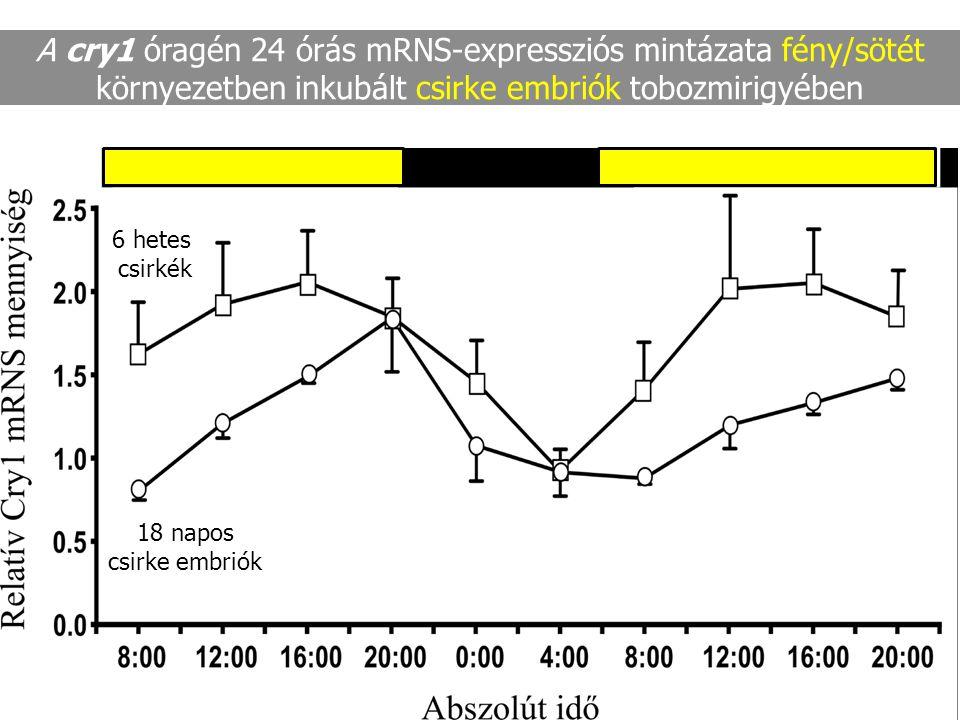 A cry1 óragén 24 órás mRNS-expressziós mintázata fény/sötét környezetben inkubált csirke embriók tobozmirigyében