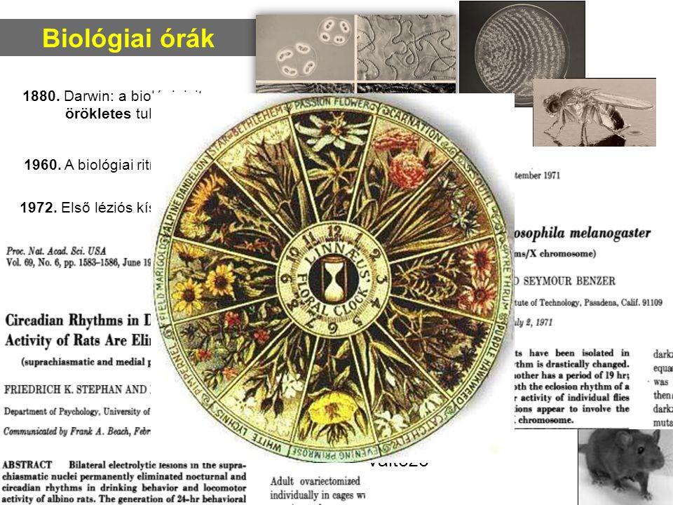 Biológiai órák A cirkadián ritmus