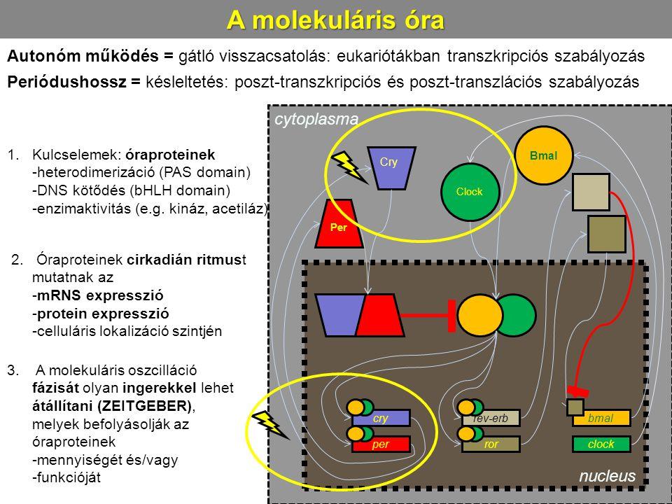 A molekuláris óra Autonóm működés = gátló visszacsatolás: eukariótákban transzkripciós szabályozás.