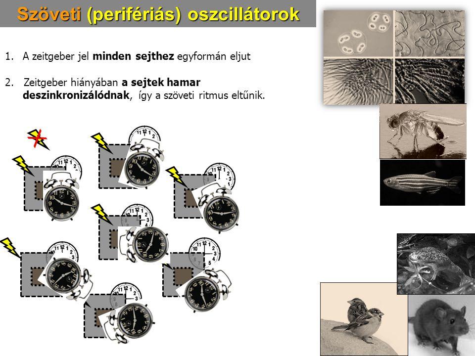Szöveti (perifériás) oszcillátorok
