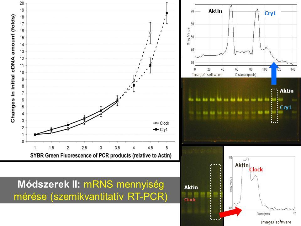 Módszerek II: mRNS mennyiség mérése (szemikvantitatív RT-PCR)