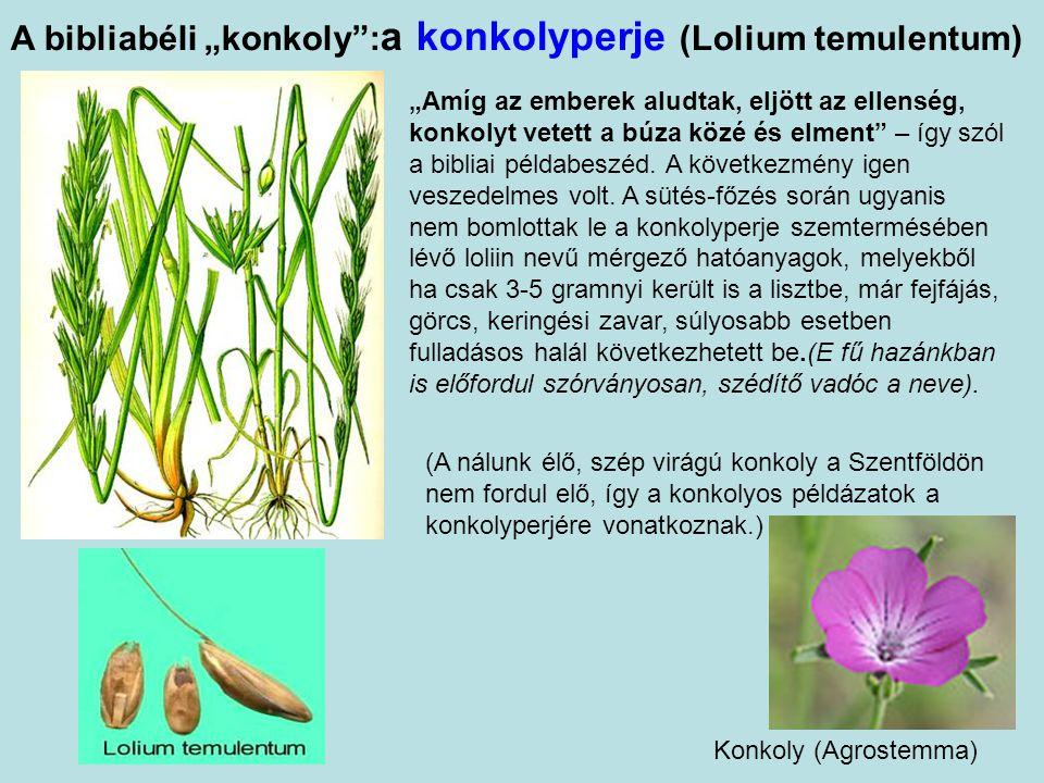 "A bibliabéli ""konkoly :a konkolyperje (Lolium temulentum)"