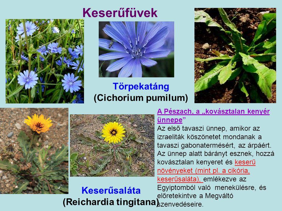 Törpekatáng (Cichorium pumilum) Keserűsaláta (Reichardia tingitana)