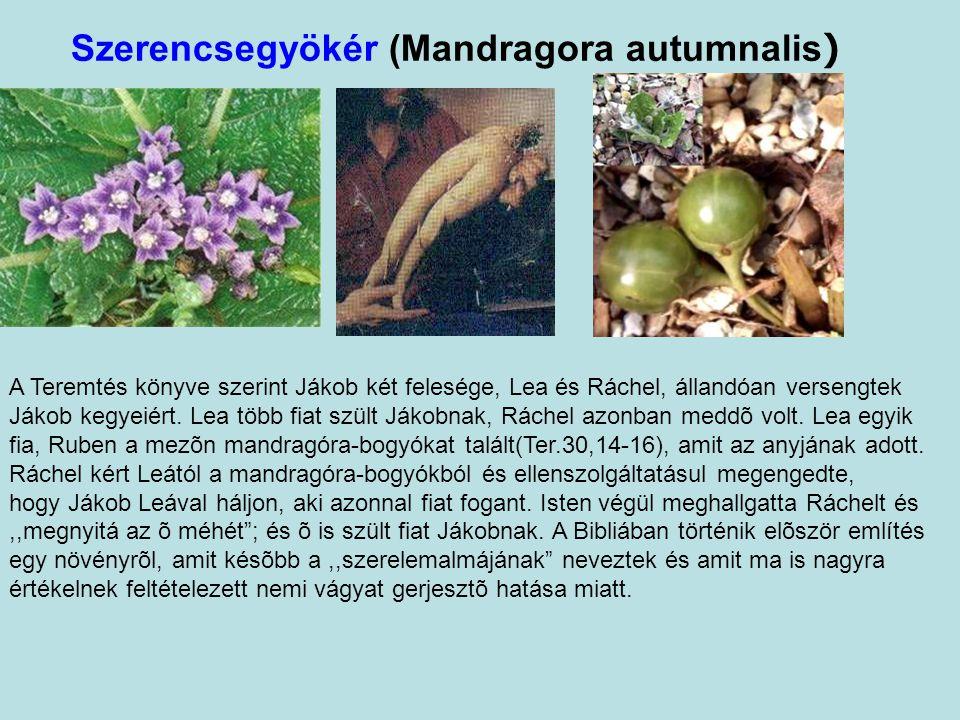 Szerencsegyökér (Mandragora autumnalis)