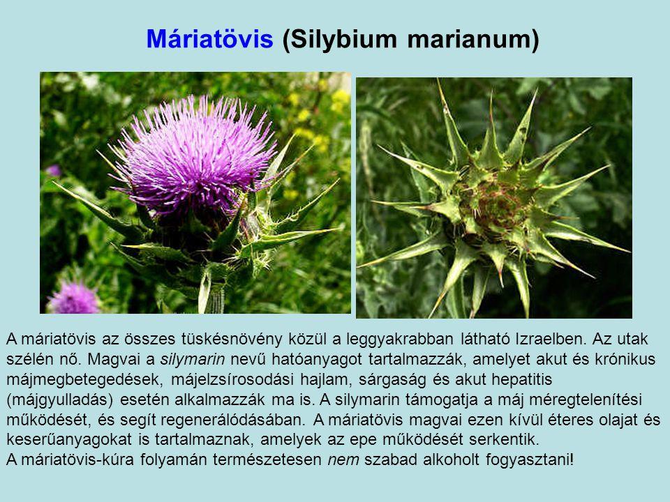 Máriatövis (Silybium marianum)