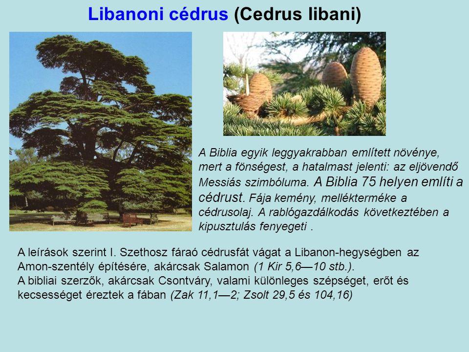 Libanoni cédrus (Cedrus libani)