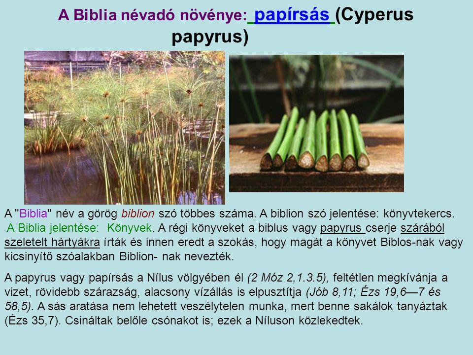 A Biblia névadó növénye: papírsás (Cyperus papyrus)