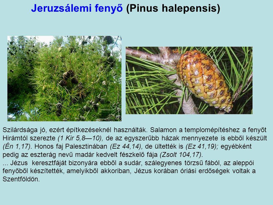 Jeruzsálemi fenyő (Pinus halepensis)