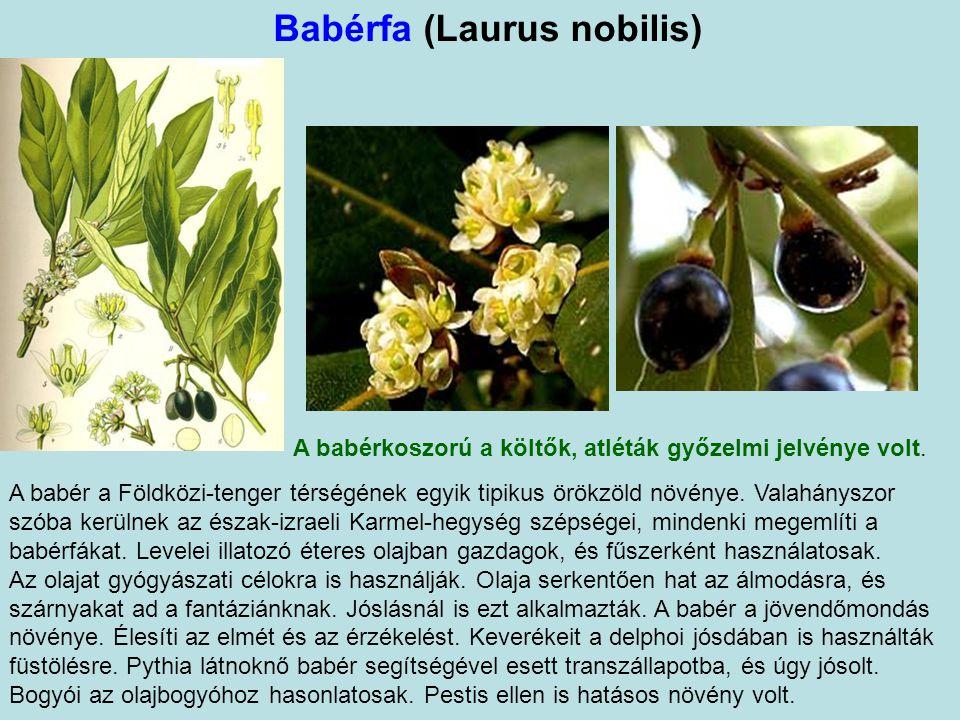 Babérfa (Laurus nobilis)