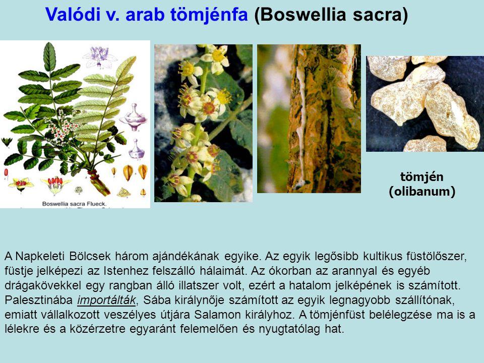 Valódi v. arab tömjénfa (Boswellia sacra)