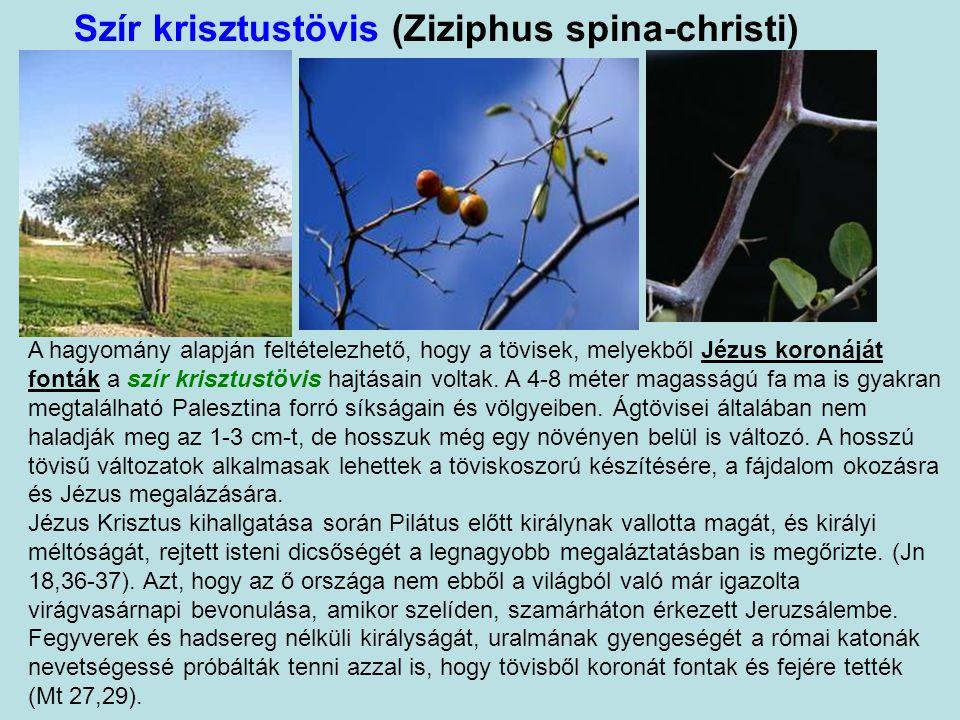Szír krisztustövis (Ziziphus spina-christi)