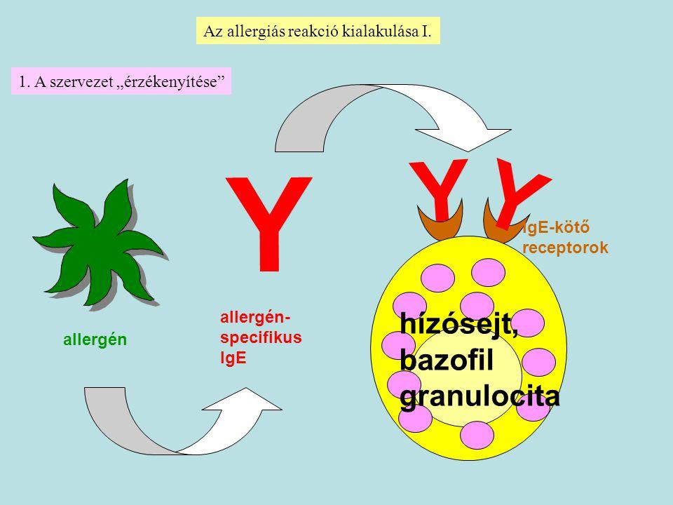 Y Y hízósejt, bazofil granulocita Az allergiás reakció kialakulása I.