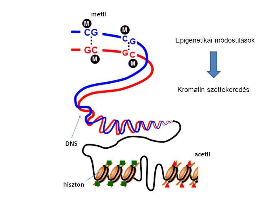 metil Epigenetikai módosulások Kromatin széttekeredés DNS acetil hiszton