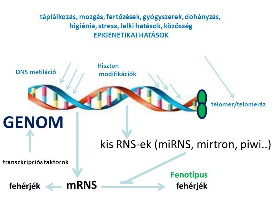 GENOM kis RNS-ek (miRNS, mirtron, piwi..) Fenotípus fehérjék