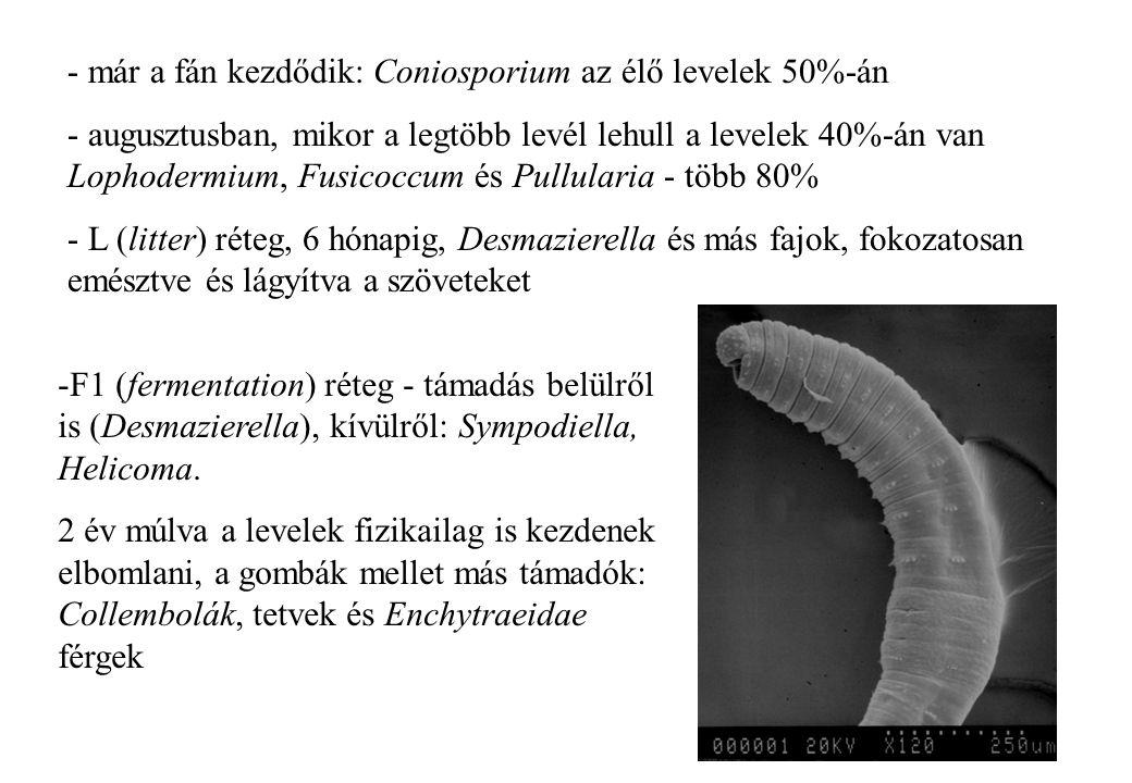 - már a fán kezdődik: Coniosporium az élő levelek 50%-án