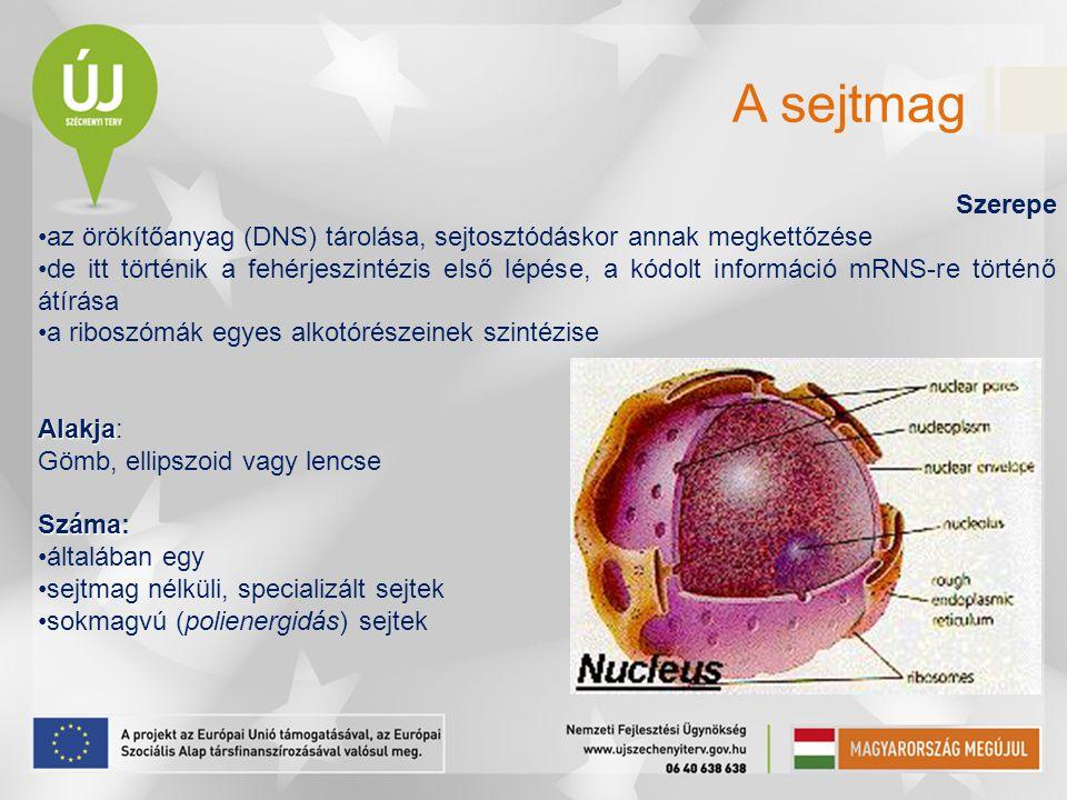 A sejtmag Szerepe. az örökítőanyag (DNS) tárolása, sejtosztódáskor annak megkettőzése.