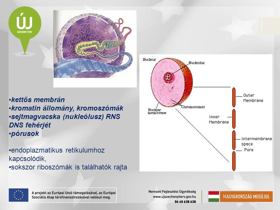 kettős membrán kromatin állomány, kromoszómák. sejtmagvacska (nukleólusz) RNS DNS fehérjét. pórusok.