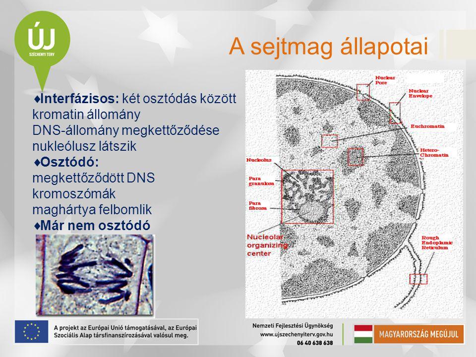 A sejtmag állapotai Interfázisos: két osztódás között