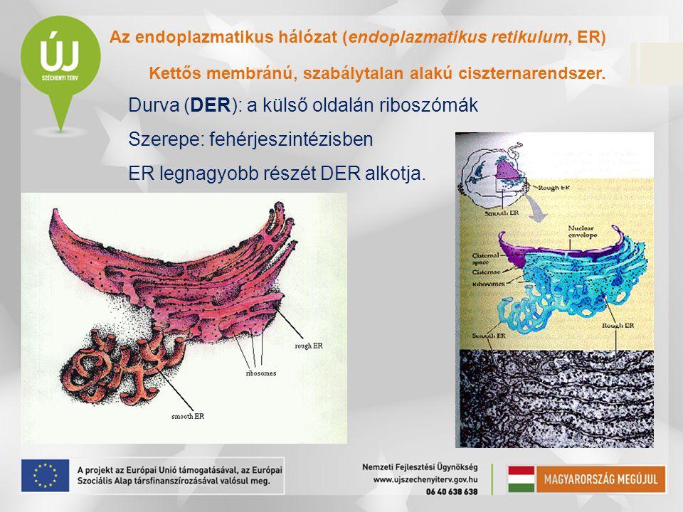 Durva (DER): a külső oldalán riboszómák Szerepe: fehérjeszintézisben