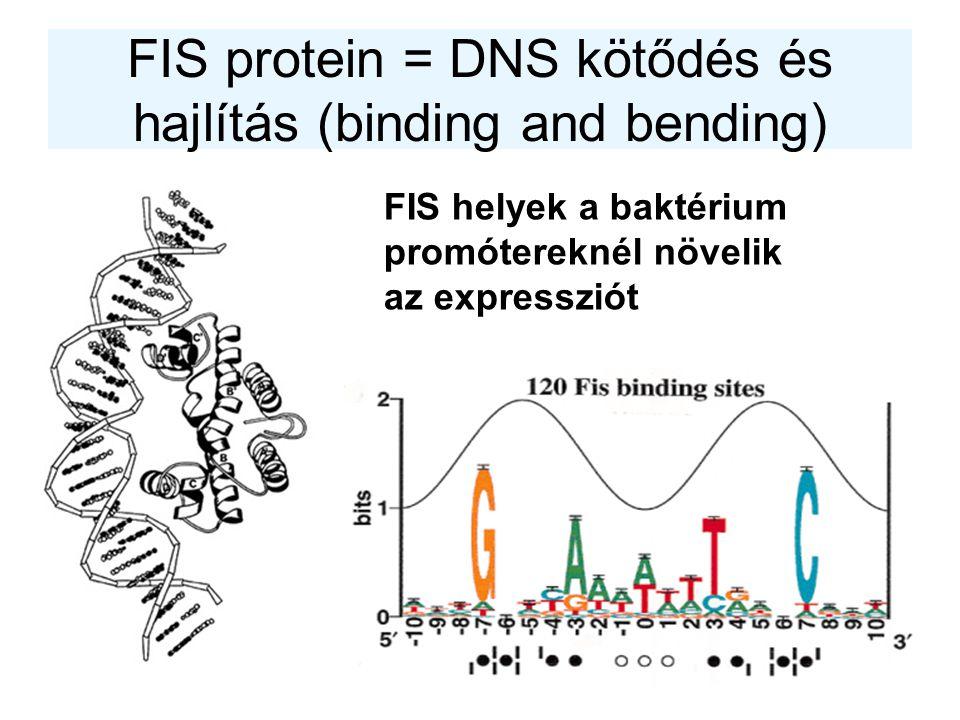 FIS protein = DNS kötődés és hajlítás (binding and bending)