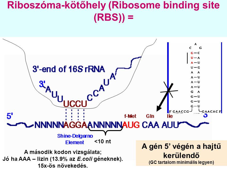 Riboszóma-kötőhely (Ribosome binding site (RBS)) =