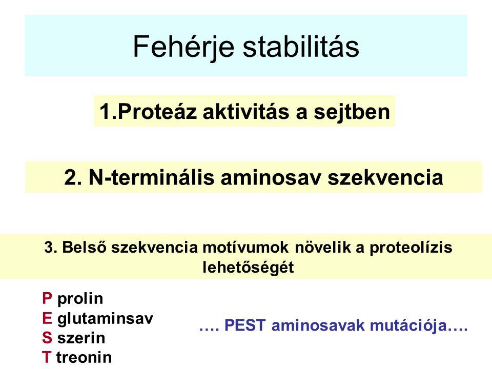 Fehérje stabilitás Proteáz aktivitás a sejtben