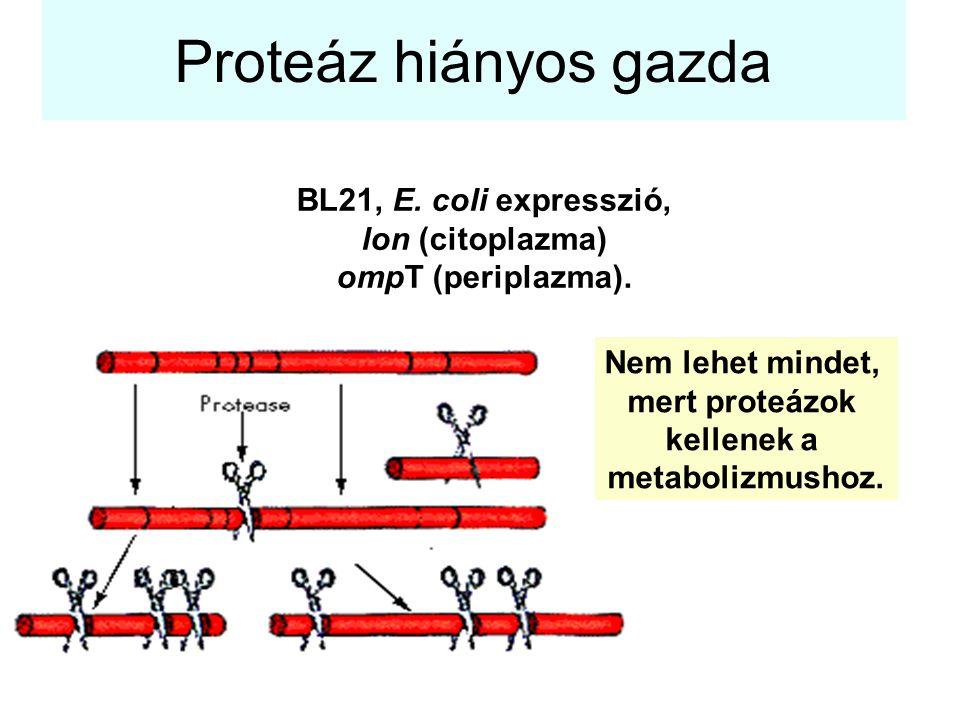 Proteáz hiányos gazda BL21, E. coli expresszió, lon (citoplazma)