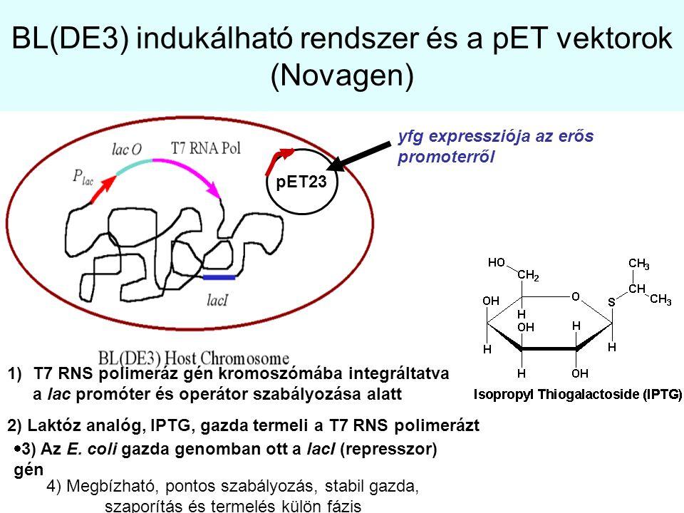 BL(DE3) indukálható rendszer és a pET vektorok (Novagen)