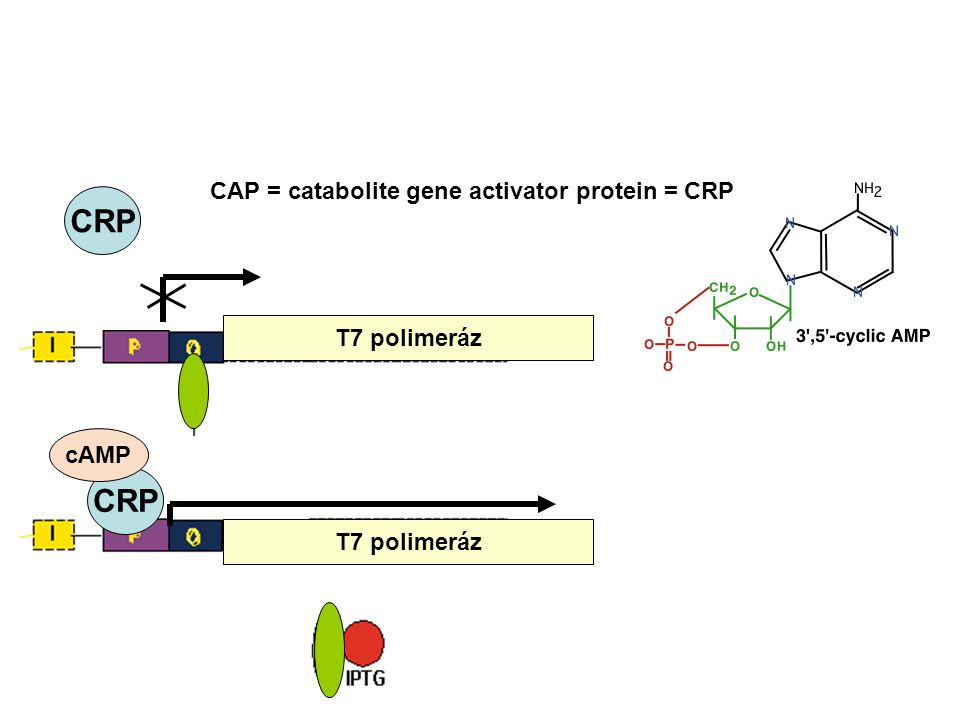 CRP CRP CAP = catabolite gene activator protein = CRP T7 polimeráz