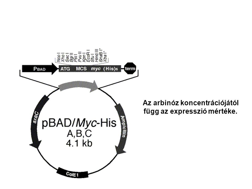 Az arbinóz koncentrációjától függ az expresszió mértéke.