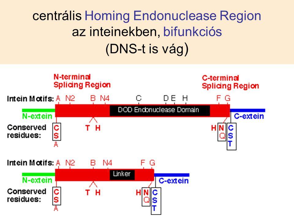 centrális Homing Endonuclease Region az inteinekben, bifunkciós (DNS-t is vág)