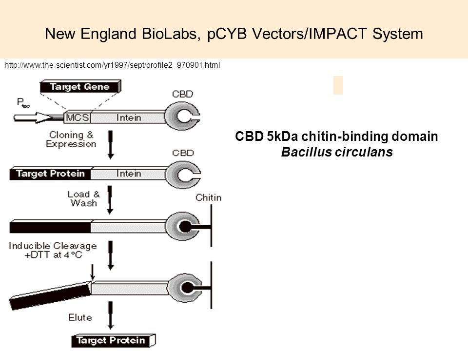New England BioLabs, pCYB Vectors/IMPACT System