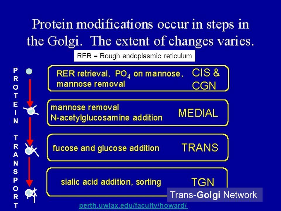 Trans-Golgi Network RER = Rough endoplasmic reticulum P R O T E I N A
