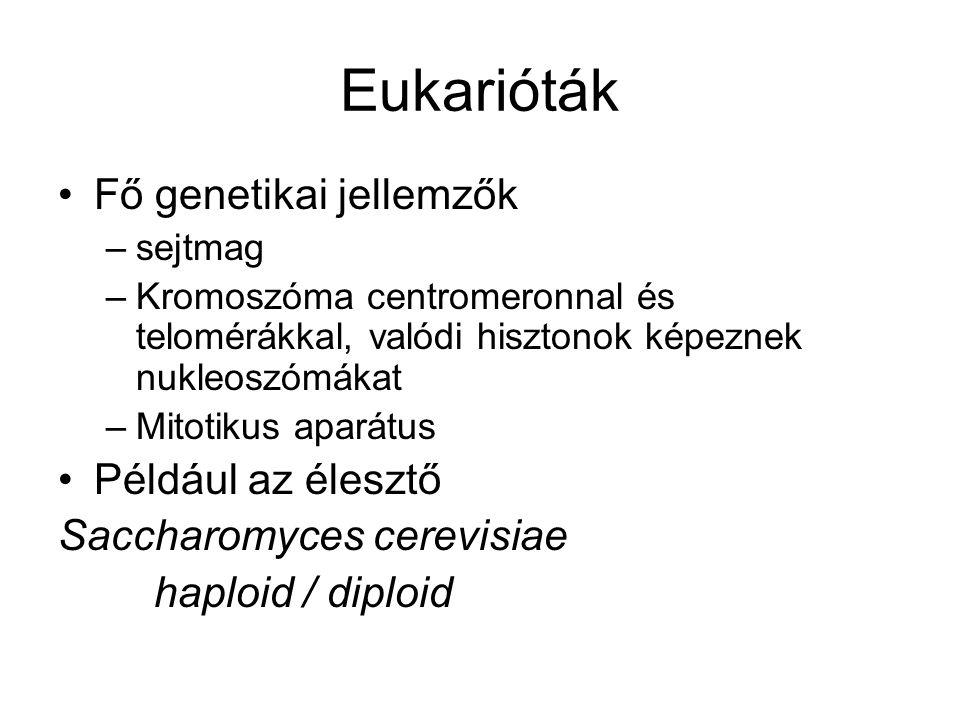 Eukarióták Fő genetikai jellemzők Például az élesztő
