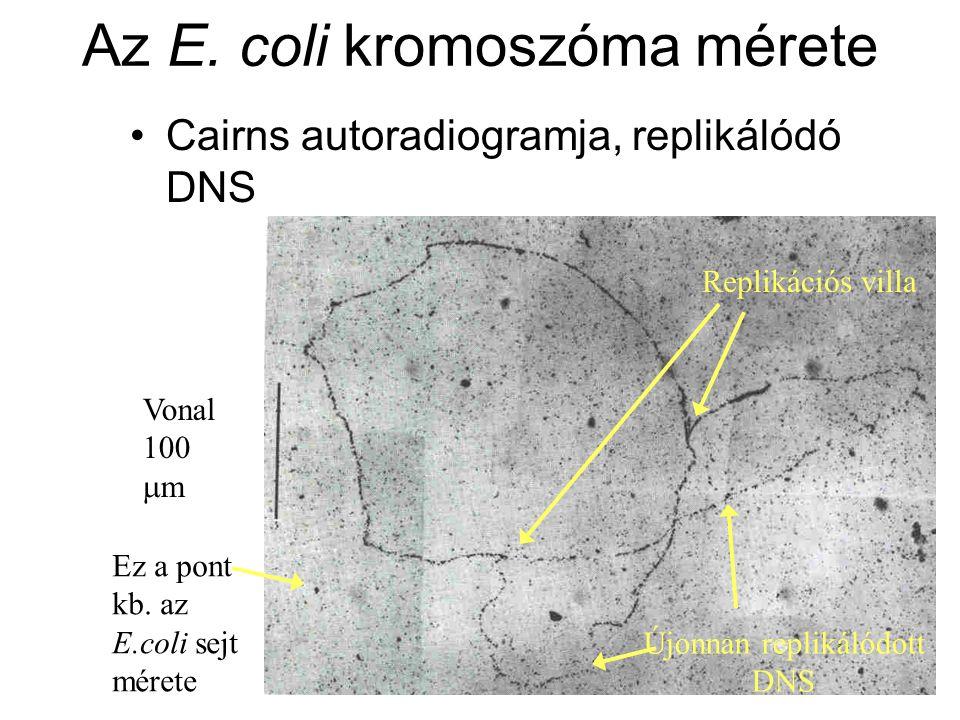 Az E. coli kromoszóma mérete
